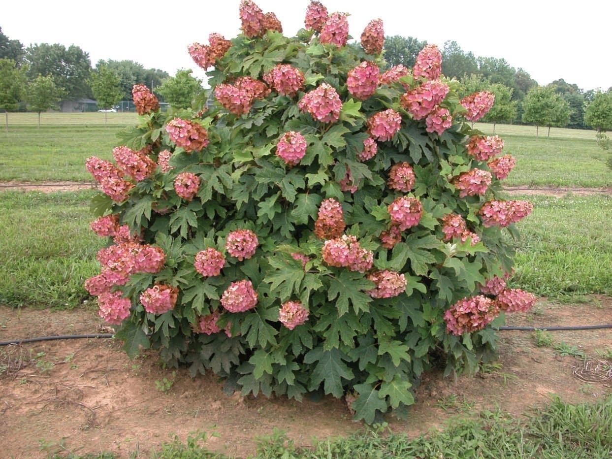 Oakleaf hydrangea queen of hearts woodies johnson nursery for Hydrangea quercifolia
