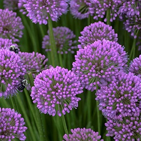 /Images/johnsonnursery/product-images/Allium Millenium closeup_web_f110fw1ta.jpg