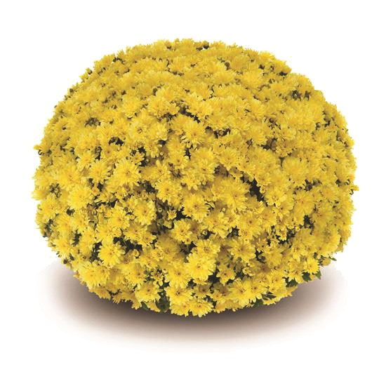 /Images/johnsonnursery/product-images/Arluno_yellow§540x540_5wtfl7uqo.jpg