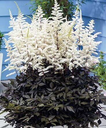 /Images/johnsonnursery/product-images/Astilbe Cappuccino_brecwu5xs.jpg