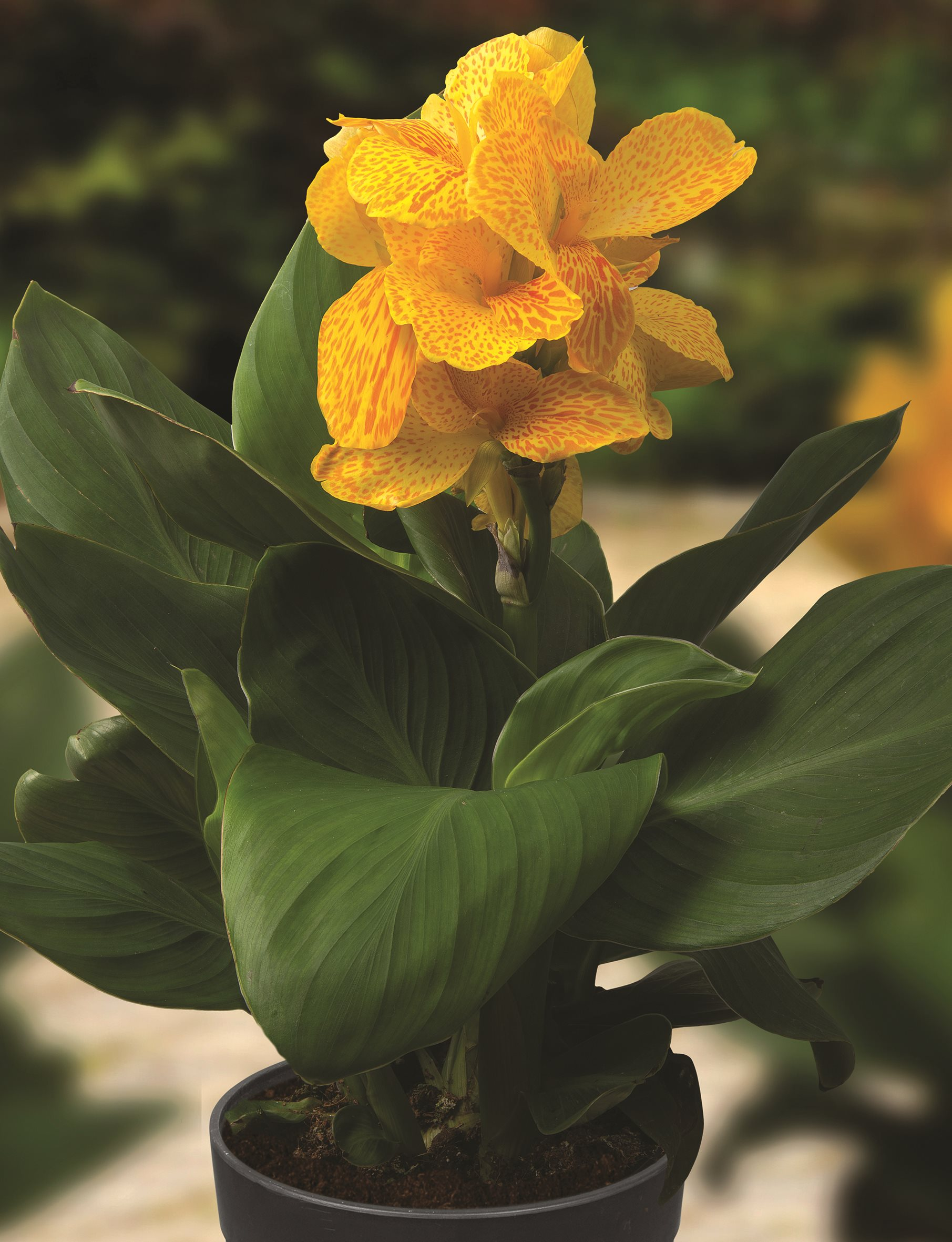 /Images/johnsonnursery/product-images/Canna Cannasol Happy Emily bloom_qodtrmedl.jpg