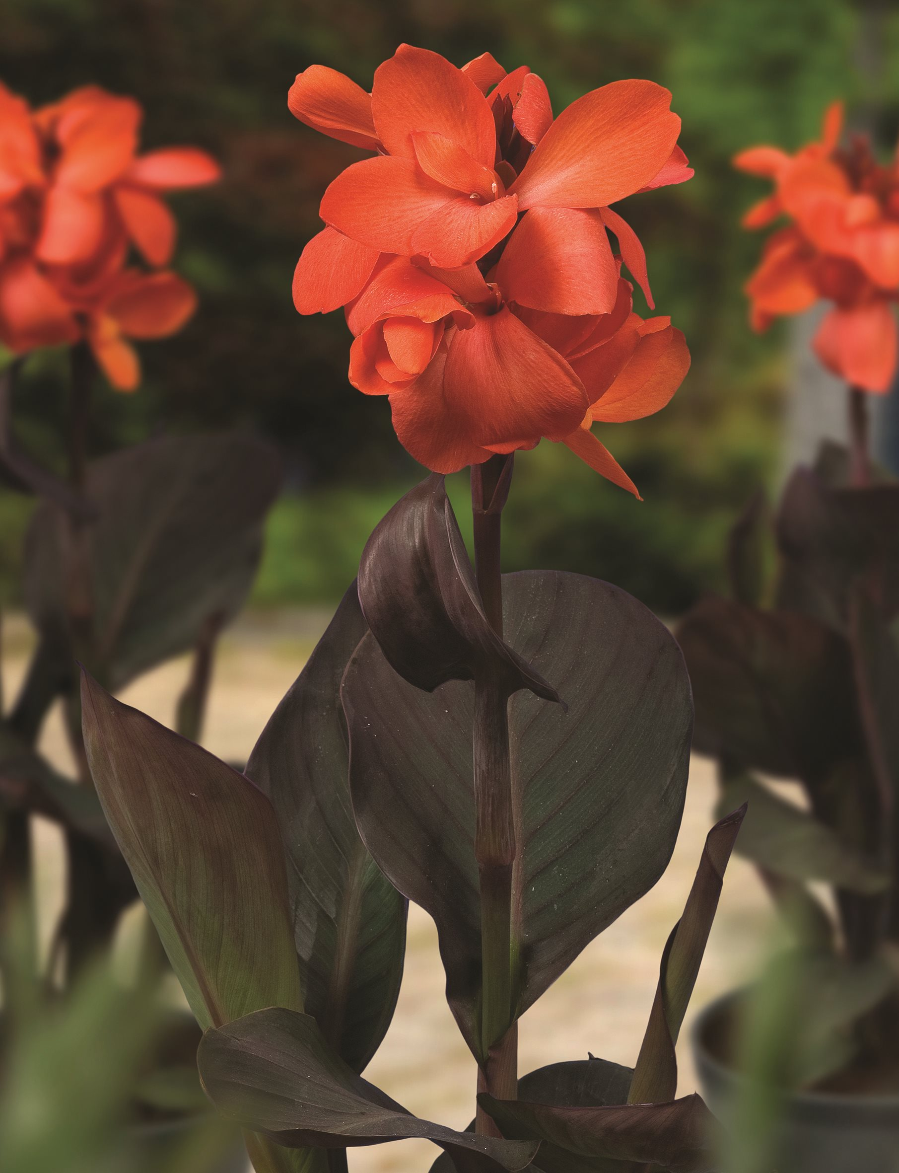 /Images/johnsonnursery/product-images/Canna Cannasol Happy Wilma bloom_pt263skms.jpg