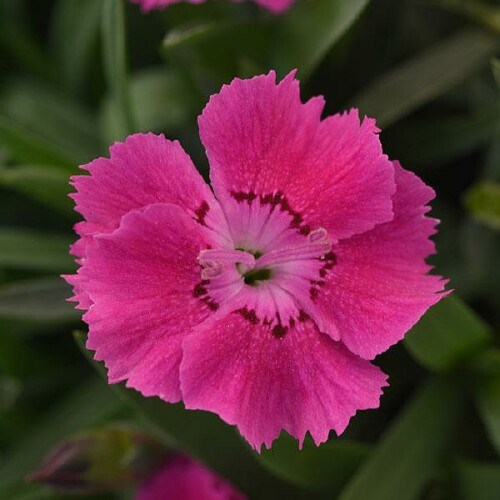 /Images/johnsonnursery/product-images/Dianthus Mountain Frost Rose Bouquet_dkr6fe2ie.jpg