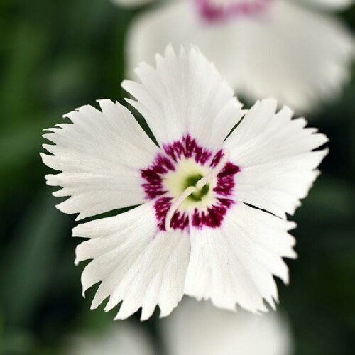 /Images/johnsonnursery/product-images/Dianthus Mountain Frost White Twinkle_1ntqv96p0.jpg