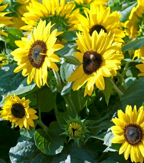 /Images/johnsonnursery/product-images/Helianthus Suntastic Yellow with Dark Center_d1j57ob2a.jpg