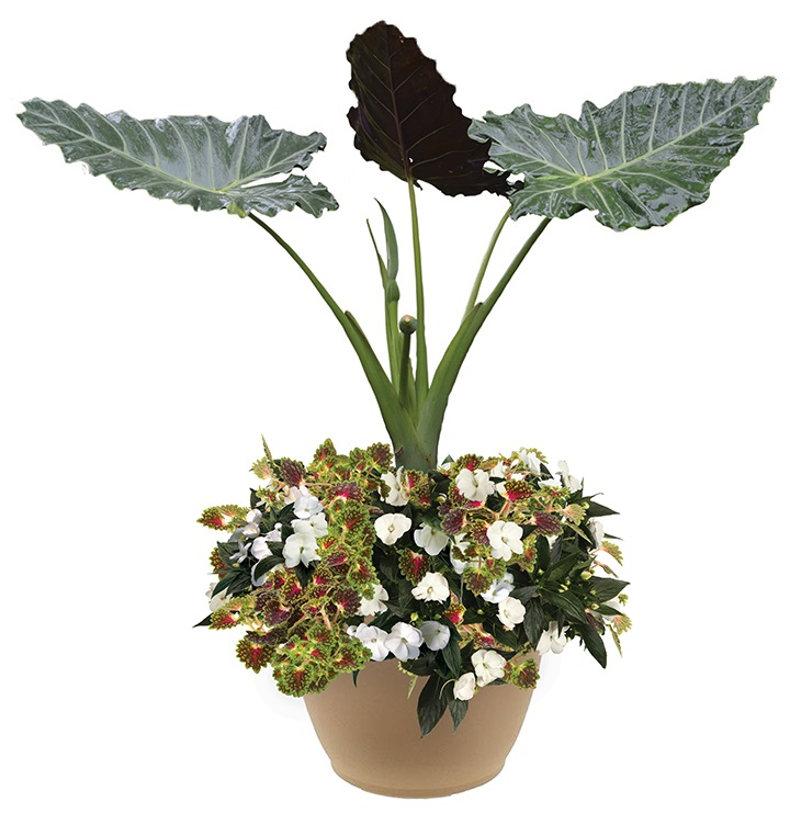 /Images/johnsonnursery/product-images/Mayan Time with alocasia website_dtbw2brma.jpg