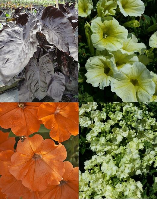 /Images/johnsonnursery/product-images/Mixed Planter 19 Lemon Lime Sunset_a730fm6uz.jpg