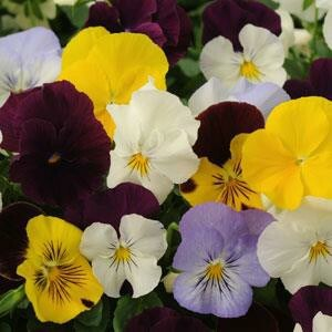 /Images/johnsonnursery/product-images/Pansy Cool Wave Mix_bmexintws.jpg