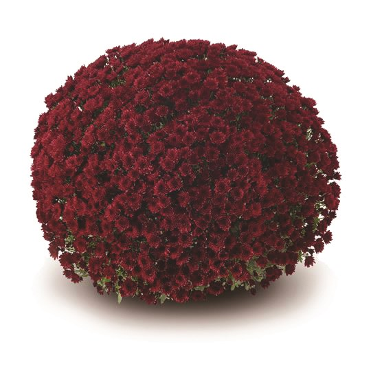 /Images/johnsonnursery/product-images/Vigorelli_red§540x540_7ta30ws9o.jpg