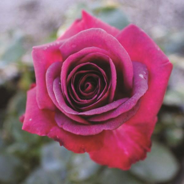 /Images/johnsonnursery/product-images/brindabella-purple-prince-1_u1ibuwuts.jpg