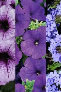 /Images/johnsonnursery/Products/Annuals/2015__5_Purple_Haze_basket.jpg