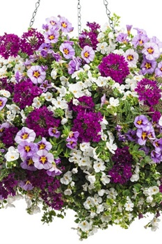/Images/johnsonnursery/Products/Annuals/BSKT12HB.jpg