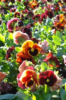 /Images/johnsonnursery/Products/Annuals/P__Red_with_blotch_11-17-10_030_for_web.JPG