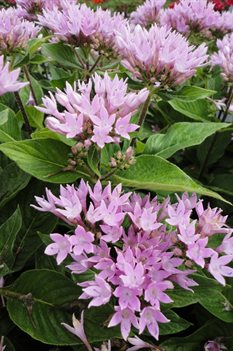 /Images/johnsonnursery/Products/Annuals/Pentas_Starcluster_Lavender.jpg
