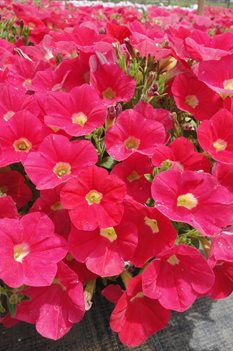 /Images/johnsonnursery/Products/Annuals/Petunia_Shock_Wave_Coral_Crush.jpg