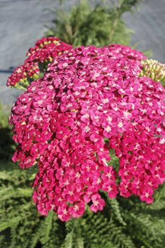 /Images/johnsonnursery/Products/Perennials/Achillea_Saucy_Seduction_for_web.jpg