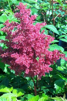 /Images/johnsonnursery/Products/Perennials/Astilbe_Fanal.jpg