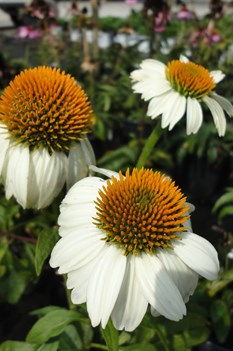 /Images/johnsonnursery/Products/Perennials/Echinacea_PowWow_White_2091313_for_web.jpg