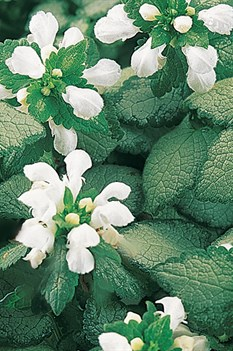 /Images/johnsonnursery/Products/Perennials/Lamium_White_Nancy_PW.jpg