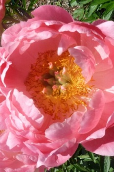 /Images/johnsonnursery/Products/Perennials/Peony_Coral_Sunset.jpg