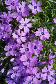 /Images/johnsonnursery/Products/Perennials/Phlox_Purple_Beauty_032812_for_web.jpg
