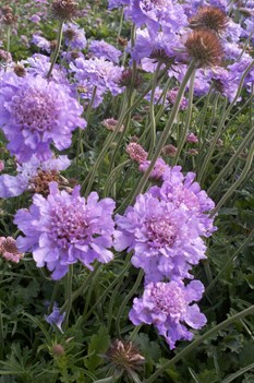 /Images/johnsonnursery/Products/Perennials/S__Harlequin_Blue.jpg