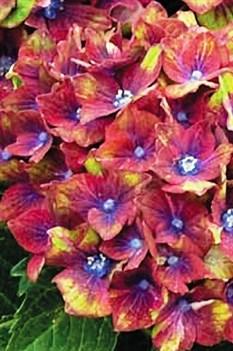 /Images/johnsonnursery/Products/Woodies/Hydrangea_Pistachio_-_Park_Seed.jpg