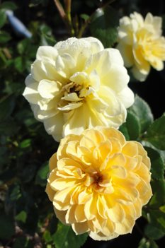 /Images/johnsonnursery/Products/Woodies/Rosa_Sunrosa_Yellow.jpg