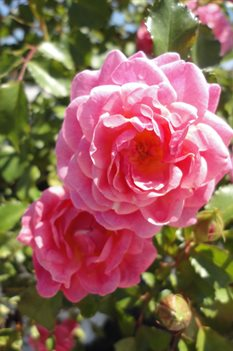 /Images/johnsonnursery/Products/Woodies/Rosa_Sweet_Drift_2051413_for_web.jpg