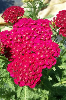 /Images/johnsonnursery/product-images/Achillea Tutti Frutti Pomegranate042716_dtpxk14gq.jpg