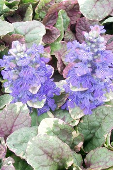 /Images/johnsonnursery/product-images/Ajuga Burgandy Glow3052200_kntmj3s7d.jpg
