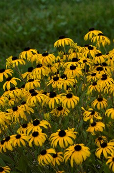 /Images/johnsonnursery/product-images/American Gold Rush closeup_puem41tvn.jpg
