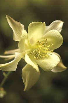 /Images/johnsonnursery/product-images/Aquilegia Kirigami Yellow bloom_nfi92zm01.jpg