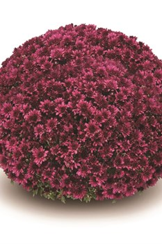 /Images/johnsonnursery/product-images/Arluno_purple§540x540_3nl36n4mr.jpg