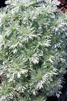 /Images/johnsonnursery/product-images/Artemesia Silver Mound042401_g9mjk7izo.jpg