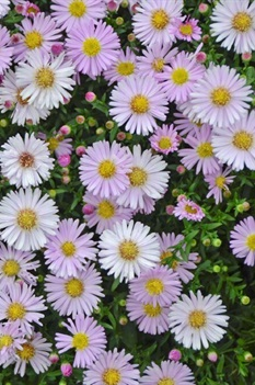 /Images/johnsonnursery/product-images/Aster Kickin Pink Chiffon_ngm78zkxs.jpeg