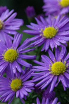 /Images/johnsonnursery/product-images/Aster Kickin Purple_6l4daizxr.jpg