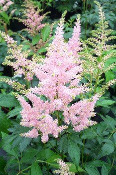 /Images/johnsonnursery/product-images/Astilbe Peach Blossom050603_4l210wwd0.jpg
