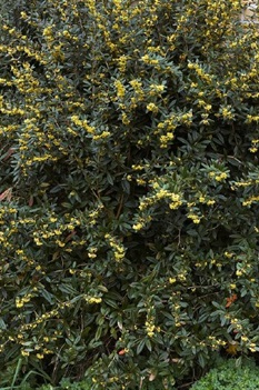 /Images/johnsonnursery/product-images/Berberis_julianae_3imwcrh3g.jpg