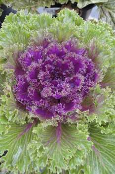 /Images/johnsonnursery/product-images/Brassica Glamour Red2100913_tgeshhcp1.jpg