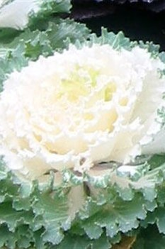 /Images/johnsonnursery/product-images/Brassica Osaka White 2_5vo239rjv.jpg