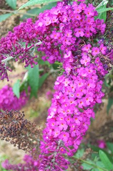 /Images/johnsonnursery/product-images/Buddleia Royal Red070700_oibzh2bil.jpg