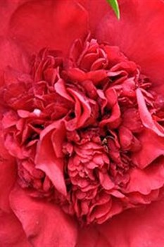 /Images/johnsonnursery/product-images/Camellia Professor Sargent_o5bnd6qat.jpg