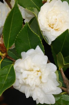 /Images/johnsonnursery/product-images/Camellia Snow Flurry_d6tx6expb.jpg