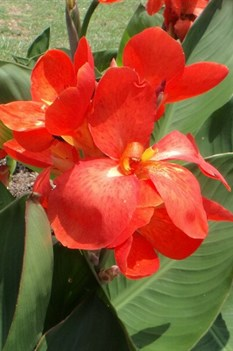 /Images/johnsonnursery/product-images/Canna South Pacific Scarlet_ks2itg221.jpg