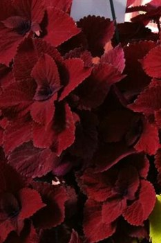 /Images/johnsonnursery/product-images/Coleus Redhead_tpom32qhl.jpg