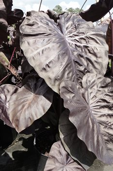 /Images/johnsonnursery/product-images/Colocasia Black Coral3061113_ehjqjoqsj.jpg