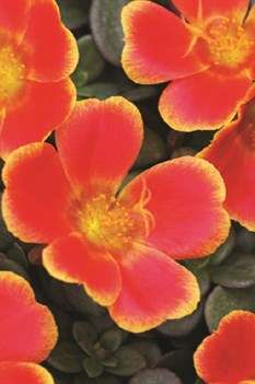 /Images/johnsonnursery/product-images/Colorblast Rum Punch_dppksq26m.jpg