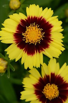 /Images/johnsonnursery/product-images/Coreopsis Uptick Yellow and Red_54do793ua.jpg
