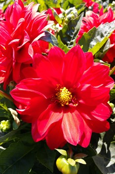 /Images/johnsonnursery/product-images/Dahlia Dalina Grande Topia043018_t48op6rhk.jpg